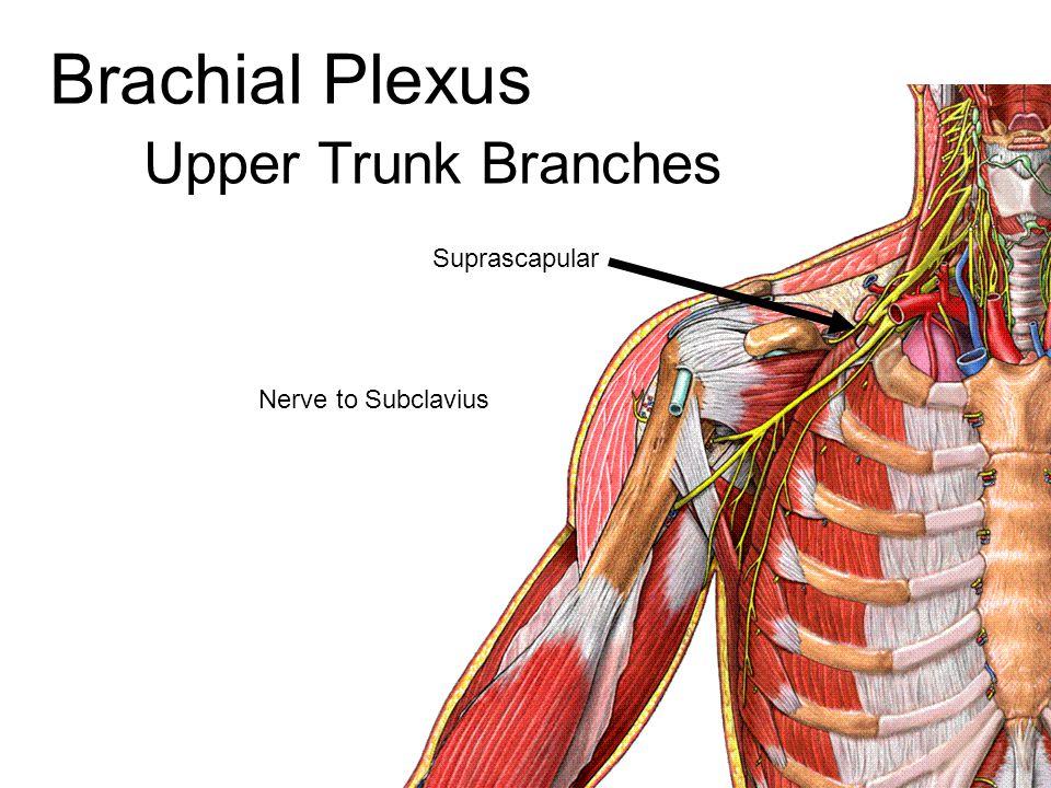 Upper Trunk Branches Suprascapular Nerve to Subclavius