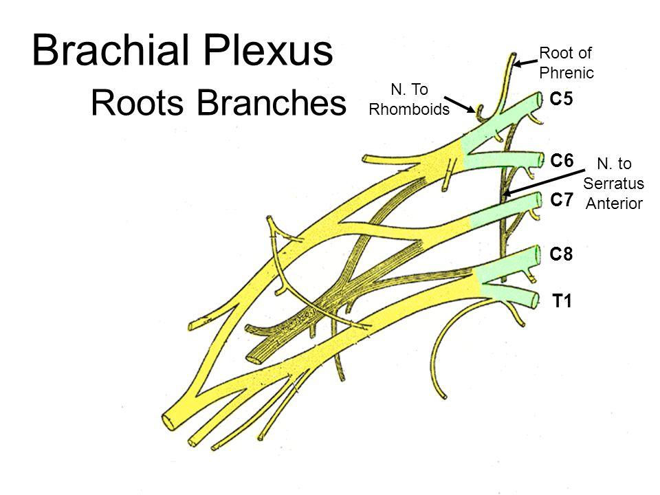 Roots Branches C5 C6 C7 C8 T1 N. to Serratus Anterior Root of Phrenic N. To Rhomboids
