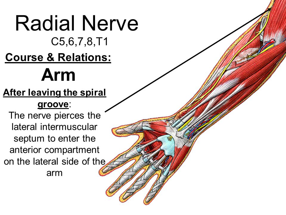 Radial Nerve C5,6,7,8,T1 Course & Relations: Arm After leaving the spiral groove: The nerve pierces the lateral intermuscular septum to enter the ante