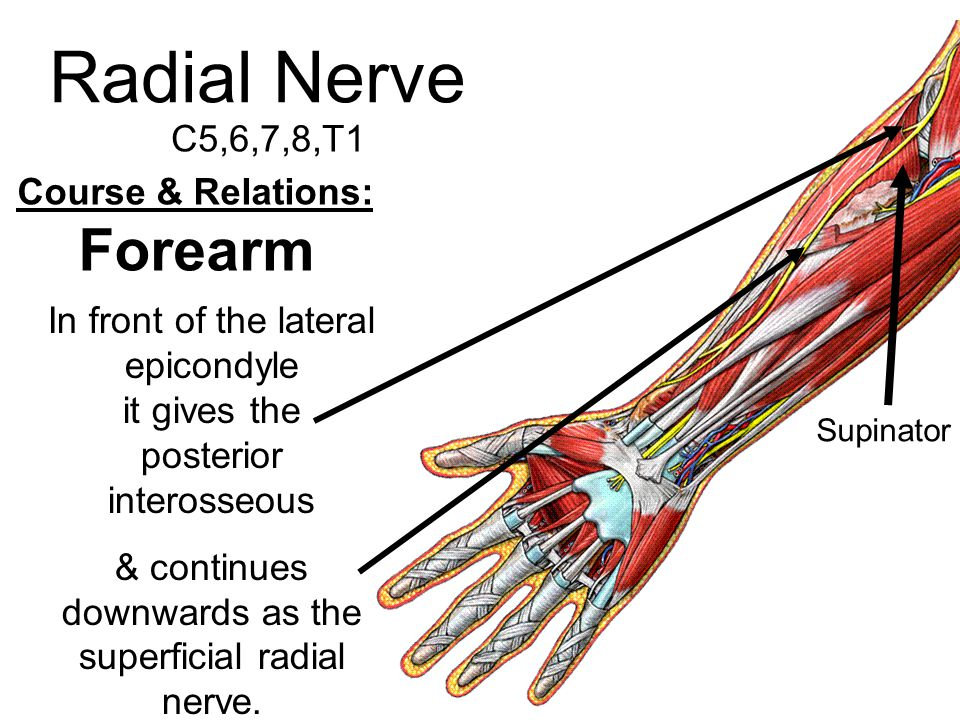 Radial Nerve C5,6,7,8,T1 Course & Relations: Forearm In front of the lateral epicondyle it gives the posterior interosseous & continues downwards as t