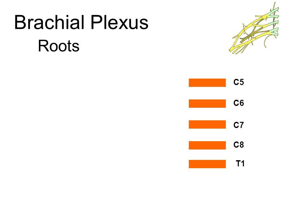 Brachial Plexus Trunks Upper Trunk Middle Trunk Lower Trunk C5 C6 C7 C8 T1