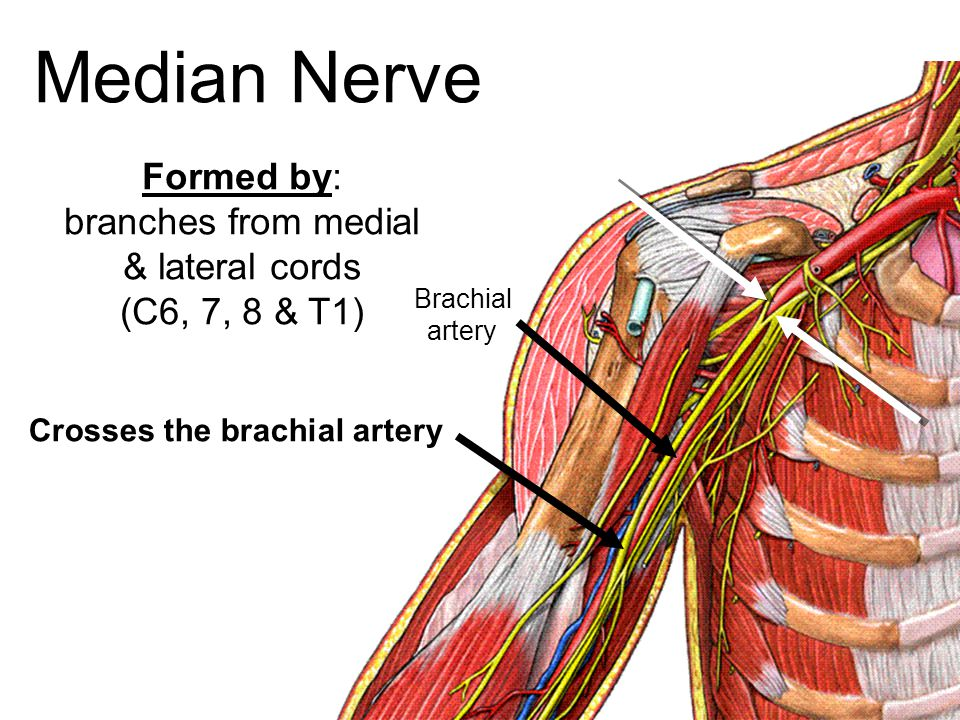 Median Nerve Formed by: branches from medial & lateral cords (C6, 7, 8 & T1) Crosses the brachial artery Brachial artery