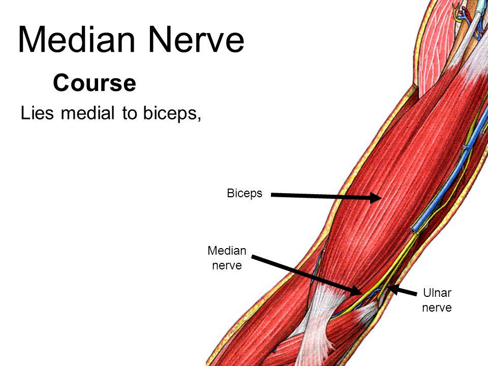 Median Nerve Lies medial to biceps, Course Biceps Median nerve Ulnar nerve