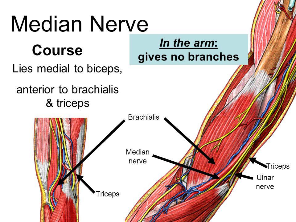 Median Nerve Lies medial to biceps, anterior to brachialis & triceps Course Brachialis Median nerve Ulnar nerve Triceps Triceps In the arm: gives no b