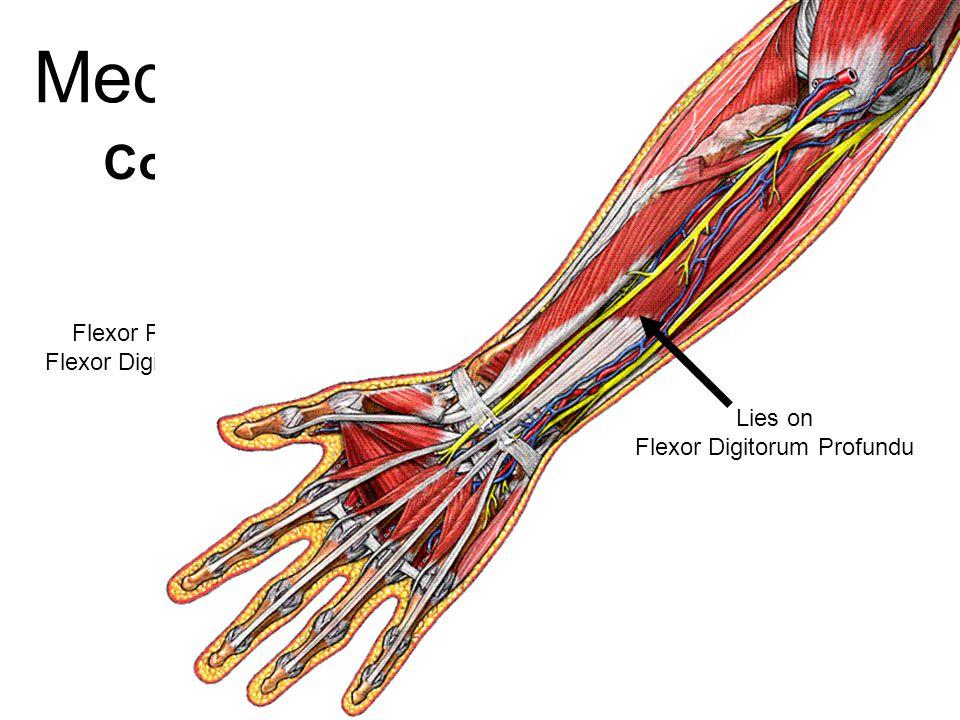 Median Nerve Course Passes bet 2 heads of pronator teres deep to flexor digitorum superficialis deep to flexor retinaculum Between Flexor Pollicis Lon