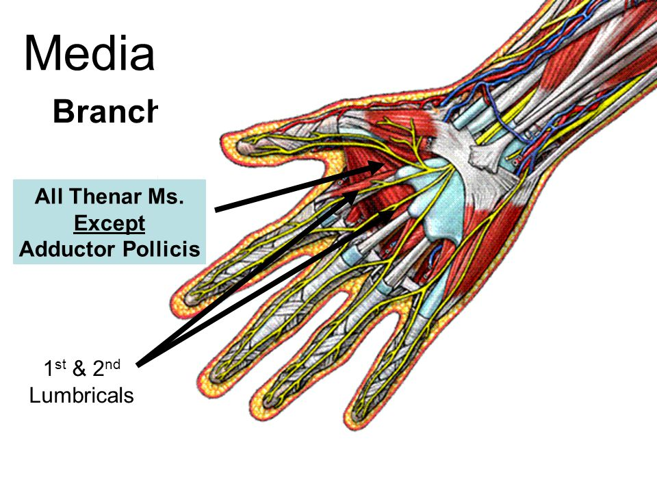 Flexor Pollicis Brevis Abductor Pollicis Brevis Median Nerve Branches Opponens Pollicis All Thenar Ms. Except Adductor Pollicis 1 st & 2 nd Lumbricals