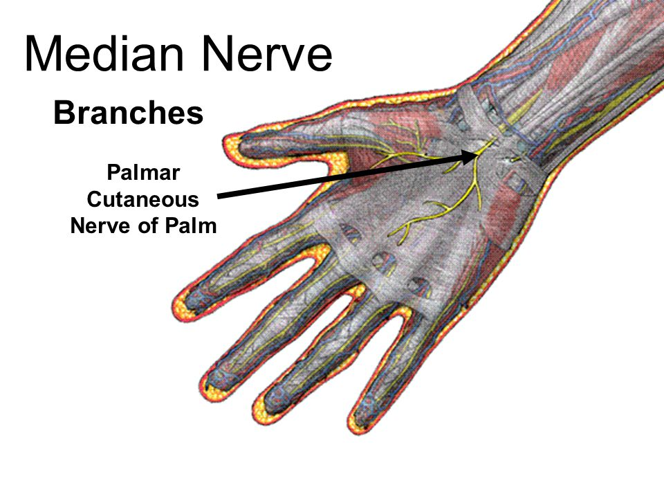 Median Nerve Branches Palmar Cutaneous Nerve of Palm