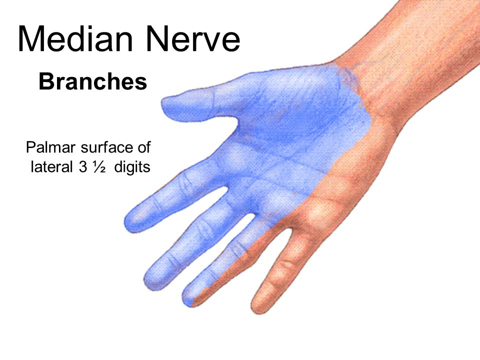 Median Nerve Branches Palmar surface of lateral 3 ½ digits