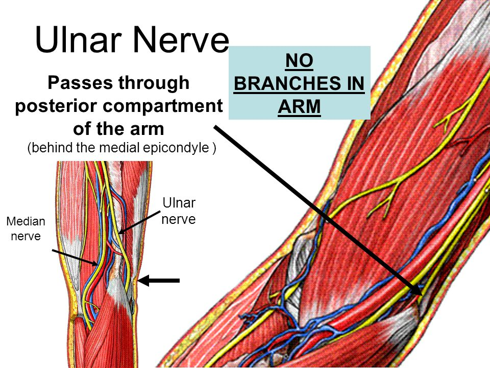 Ulnar Nerve Passes through posterior compartment of the arm (behind the medial epicondyle ) Ulnar nerve Median nerve NO BRANCHES IN ARM