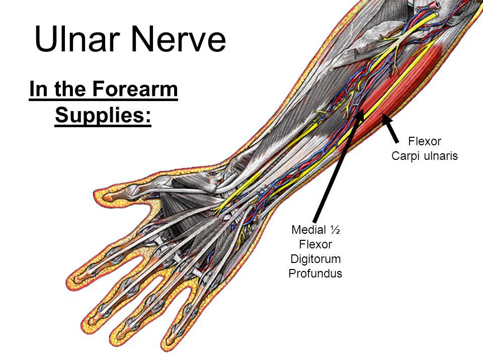 In the Forearm Supplies: Medial ½ Flexor Digitorum Profundus Flexor Carpi ulnaris