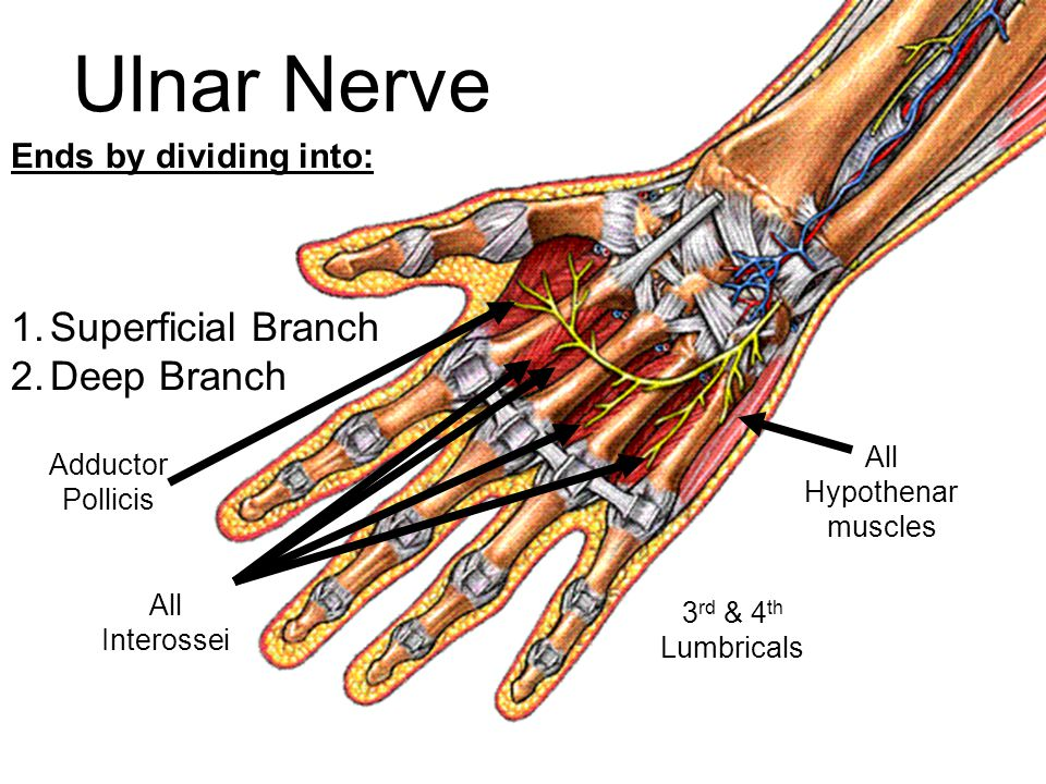 Ends by dividing into: 1.Superficial Branch 2.Deep Branch All Hypothenar muscles All Interossei Adductor Pollicis 3 rd & 4 th Lumbricals