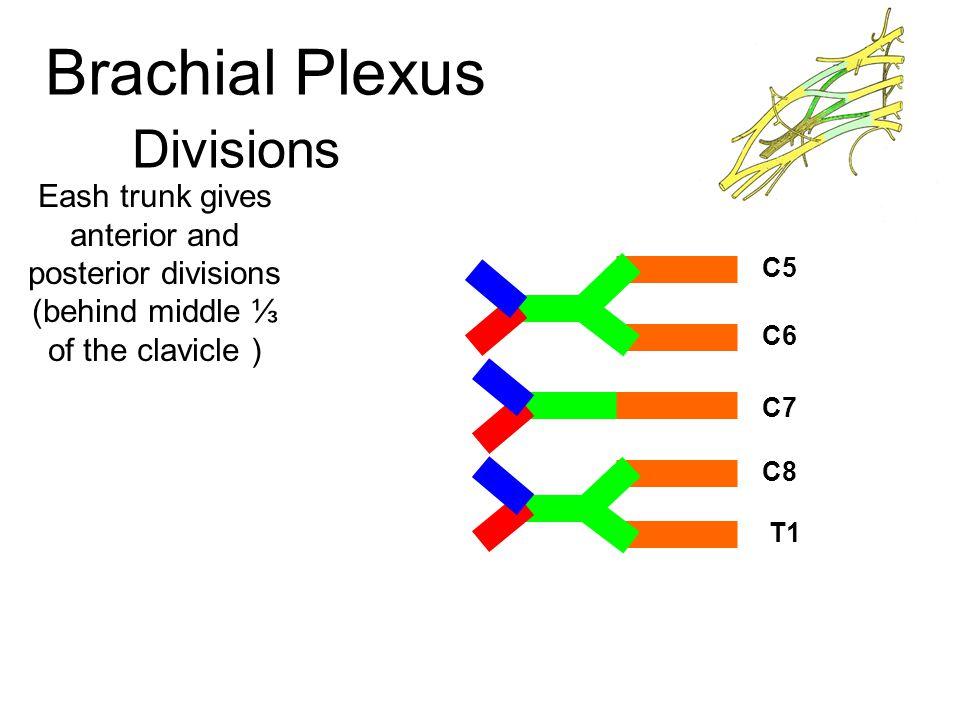 Median Nerve Branches Supplies flexors of the forearm Except Flexor Carpi- Ulnaris Medial ½ Flexor Digitorum Profundus