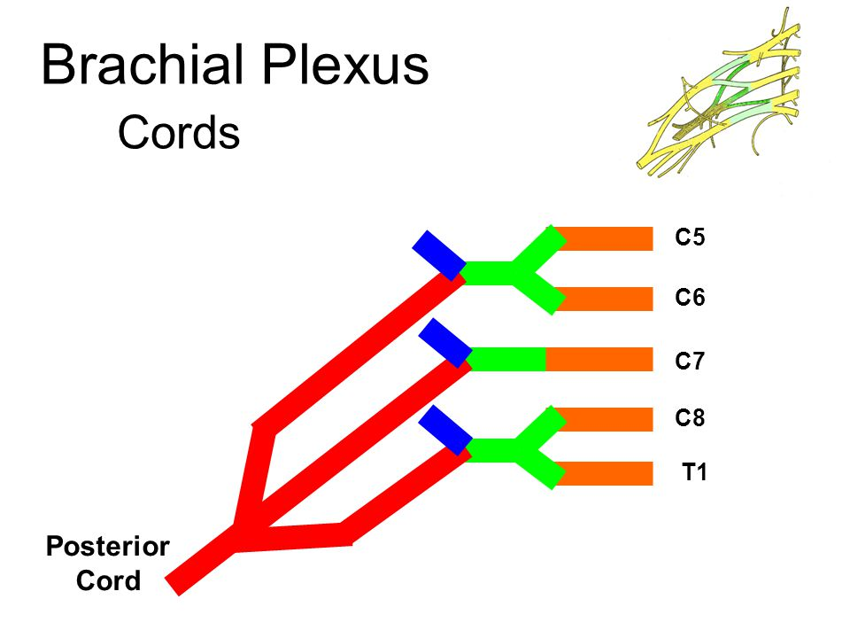 Musculocutaneous Nerve Mixed nerve from the lateral cord Course : Lareral: the 3rd part of Axillary artery Leaves the axilla by piercing the coracobrachialis m.
