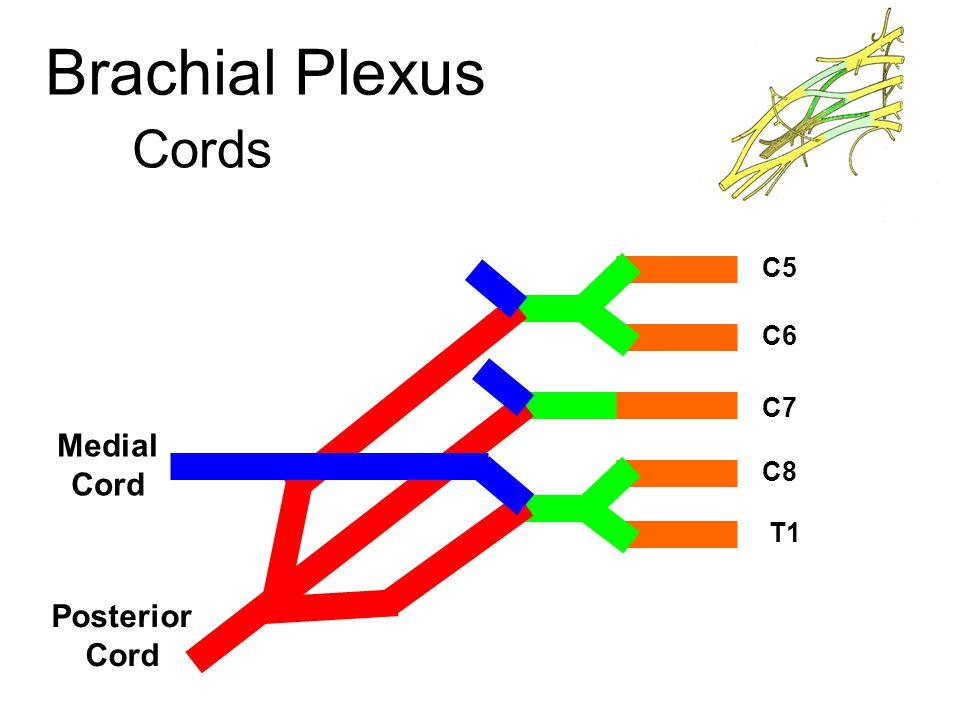 Brachial Plexus Cords C5 C6 C7 C8 T1 Posterior Cord Medial Cord Lateral Cord