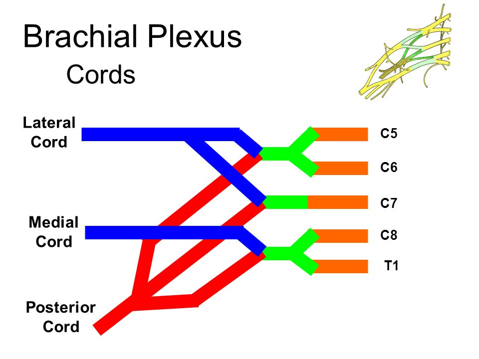 Brachial Plexus Lateral Cord Branches Lateral pectoral Musculocutaneous Lateral root of Median n.
