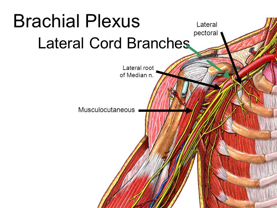 Median Nerve Injury Ape Hand Deformity
