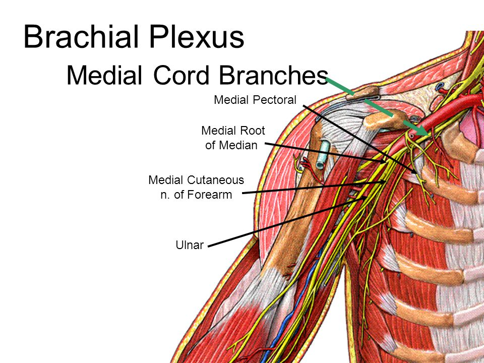 Sciatic nerve Tibial nerve Common Peroneal nerve Divides into: Tibial nerve Common Peroneal nerve