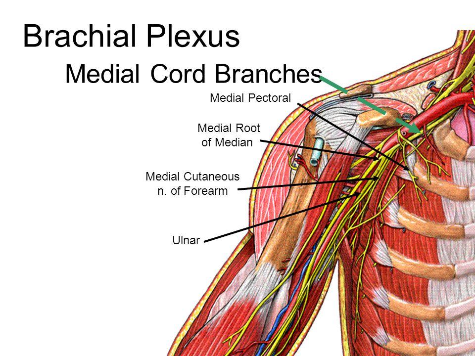 Medial Cord Branches Medial Root of Median Medial Pectoral Medial Cutaneous n. of Forearm Ulnar