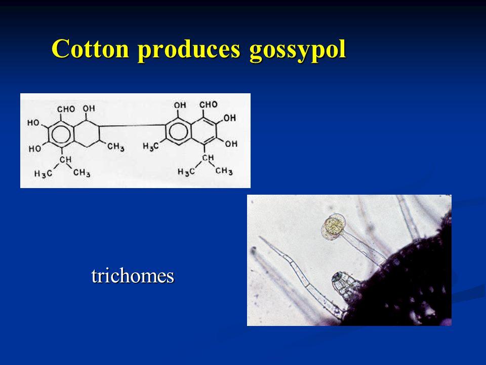 Cotton produces gossypol trichomes