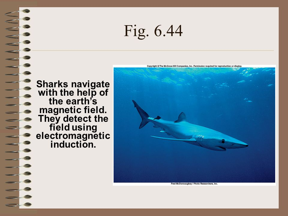 Fig. 6.44 Sharks navigate with the help of the earth's magnetic field.