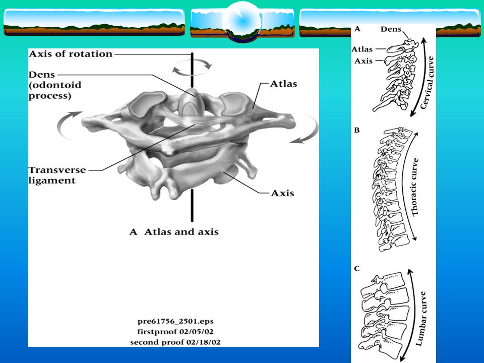 Anatomy  Characteristics  33 indiv. Bones or vertebrae  24 moveable  9 immovable  The spine allows for a high degree of flexibility  Cervical 