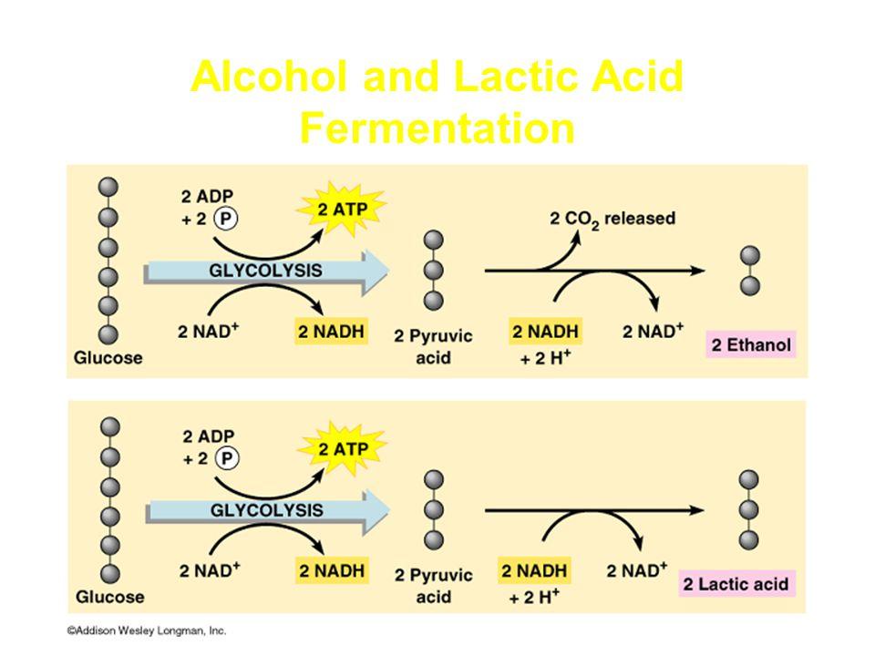Alcohol and Lactic Acid Fermentation