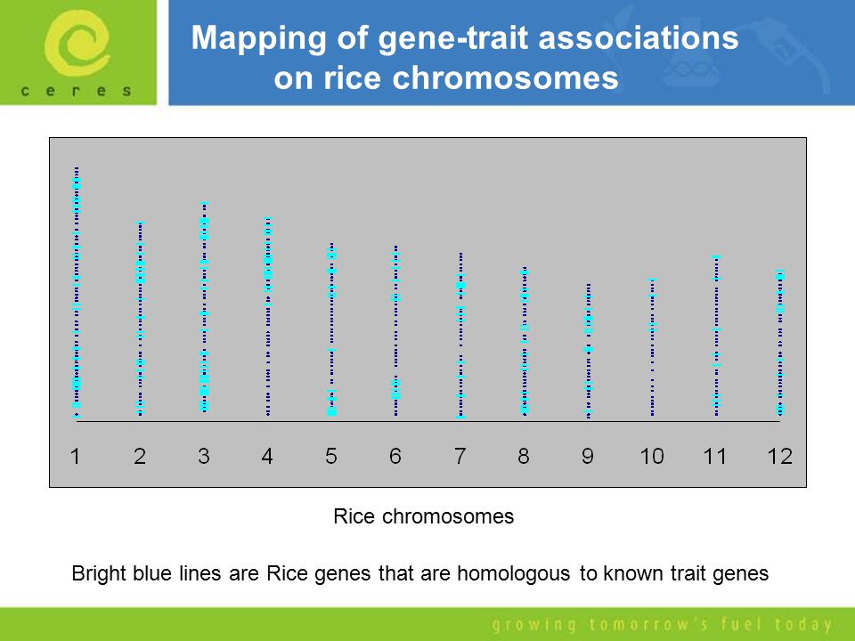 Mapping of gene-trait associations on rice chromosomes Rice chromosomes Bright blue lines are Rice genes that are homologous to known trait genes