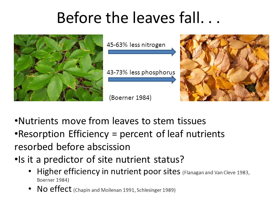 Before the leaves fall... Nutrients move from leaves to stem tissues Resorption Efficiency = percent of leaf nutrients resorbed before abscission Is i