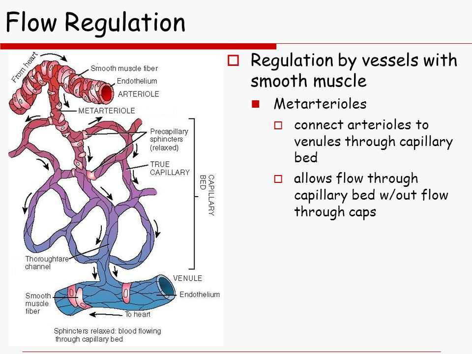 Flow Regulation  Regulation by vessels with smooth muscle Metarterioles  connect arterioles to venules through capillary bed  allows flow through capillary bed w/out flow through caps