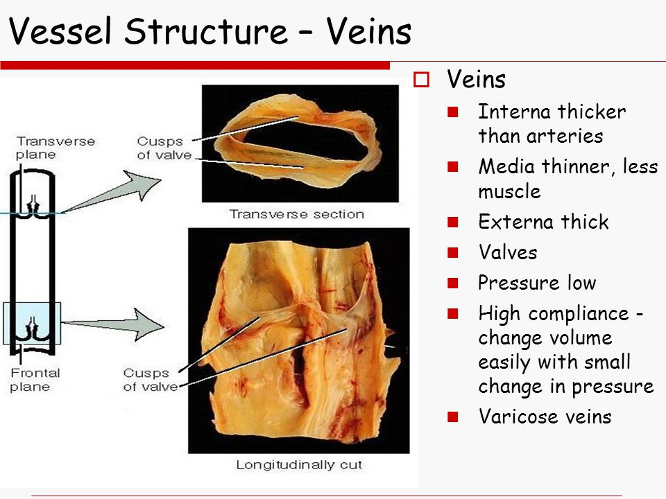 Vessel Structure – Veins  Veins Interna thicker than arteries Media thinner, less muscle Externa thick Valves Pressure low High compliance - change volume easily with small change in pressure Varicose veins