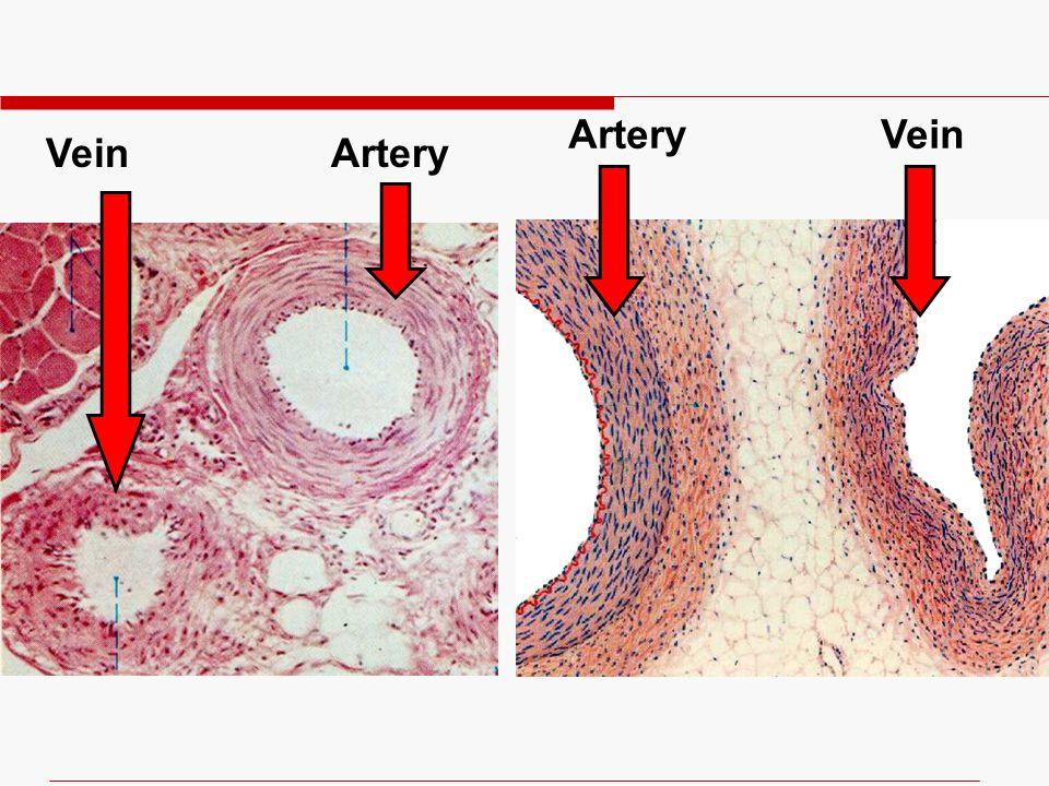 Artery Vein Vein Artery
