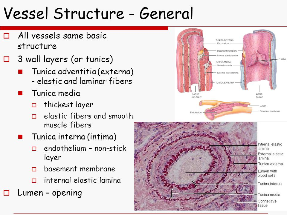Vessel Structure - General  All vessels same basic structure  3 wall layers (or tunics) Tunica adventitia (externa) - elastic and laminar fibers Tunica media  thickest layer  elastic fibers and smooth muscle fibers Tunica interna (intima)  endothelium – non-stick layer  basement membrane  internal elastic lamina  Lumen - opening