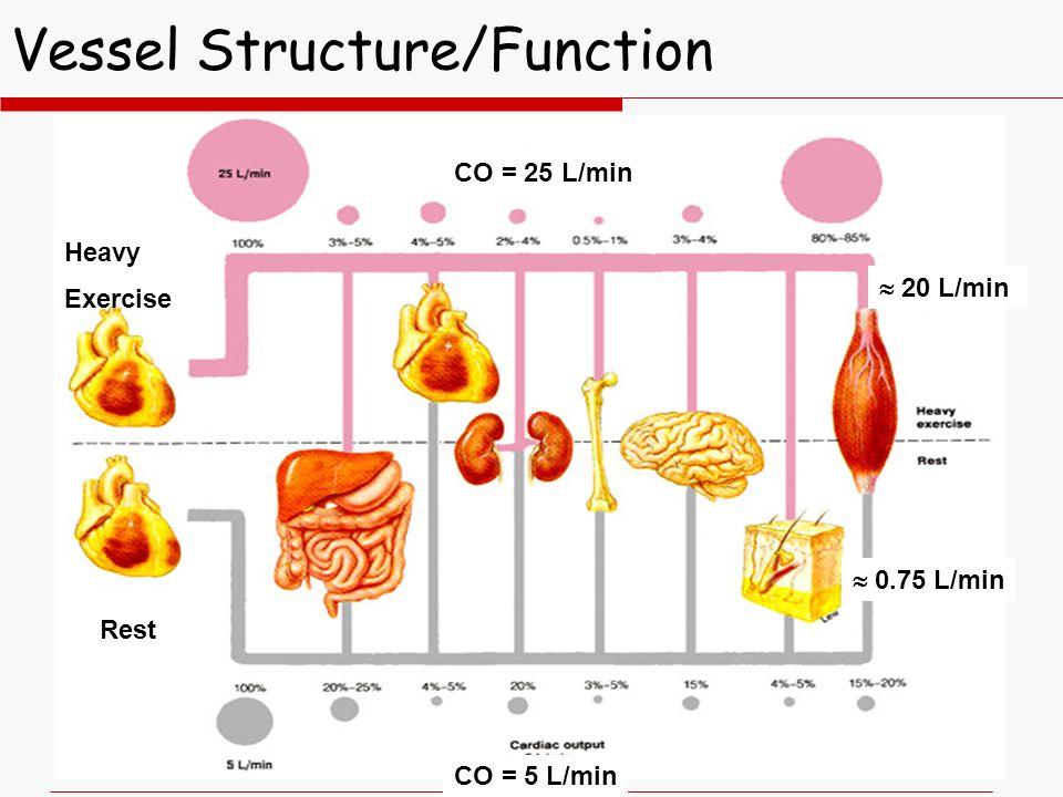 Vessel Structure/Function Heavy Exercise Rest CO = 25 L/min CO = 5 L/min  20 L/min  0.75 L/min
