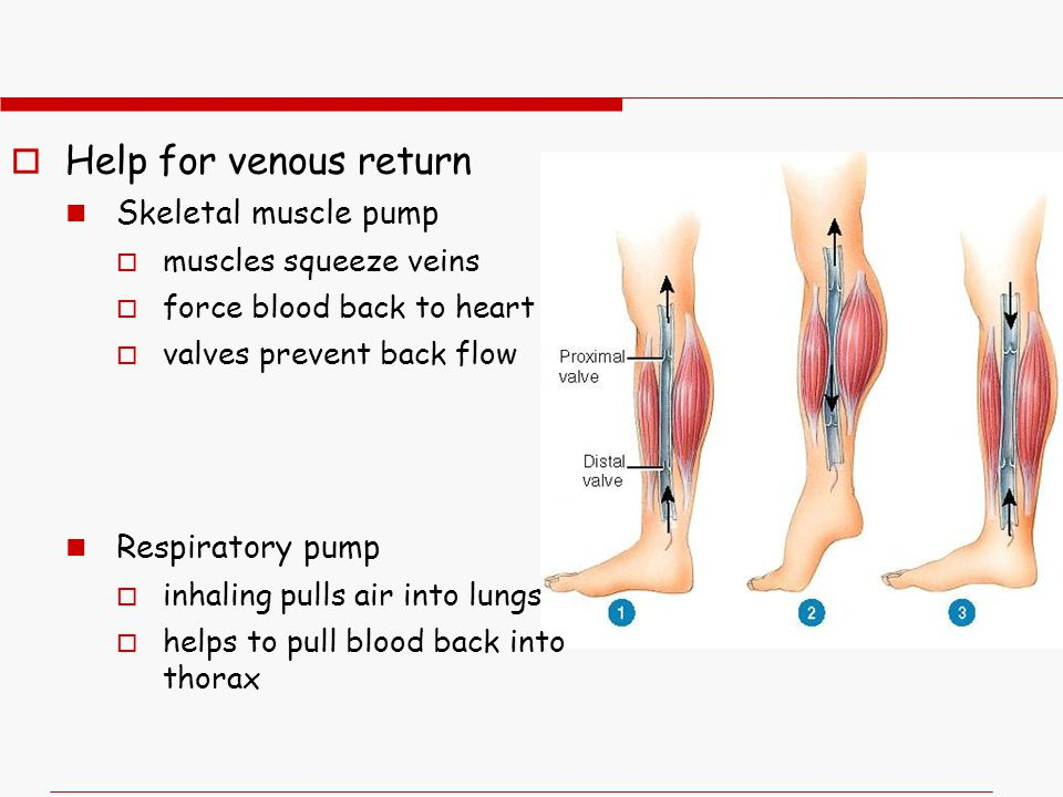  Help for venous return Skeletal muscle pump  muscles squeeze veins  force blood back to heart  valves prevent back flow Respiratory pump  inhaling pulls air into lungs  helps to pull blood back into thorax