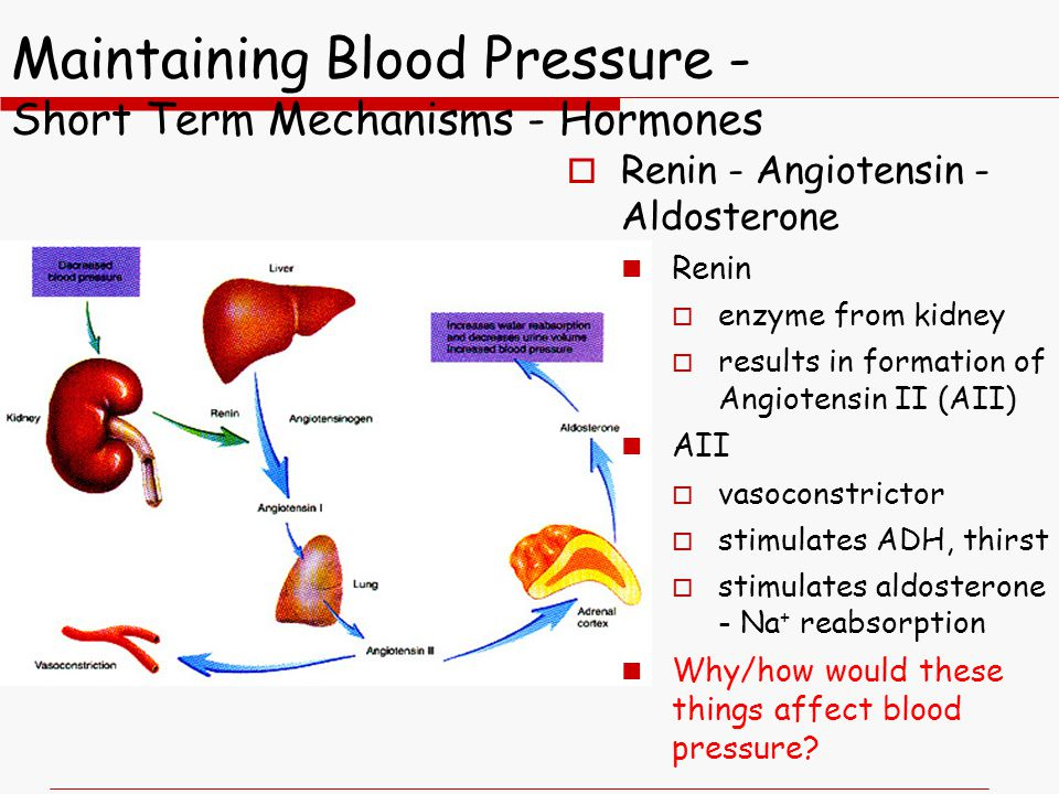 Maintaining Blood Pressure - Short Term Mechanisms - Hormones  Renin - Angiotensin - Aldosterone Renin  enzyme from kidney  results in formation of Angiotensin II (AII) AII  vasoconstrictor  stimulates ADH, thirst  stimulates aldosterone - Na + reabsorption Why/how would these things affect blood pressure?