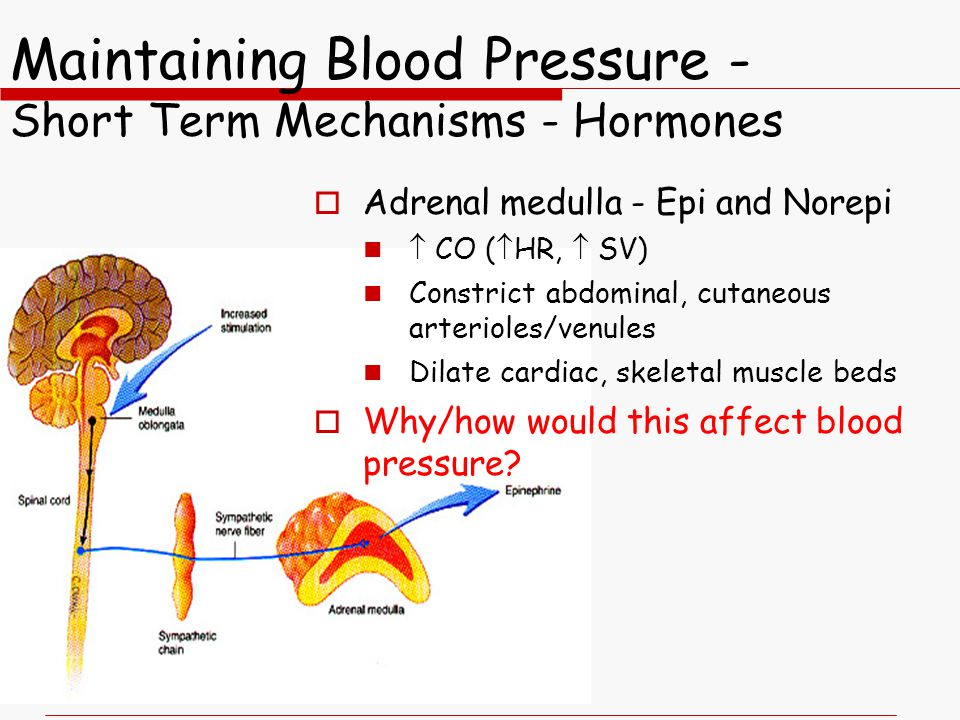 Maintaining Blood Pressure - Short Term Mechanisms - Hormones  Adrenal medulla - Epi and Norepi  CO (  HR,  SV) Constrict abdominal, cutaneous arterioles/venules Dilate cardiac, skeletal muscle beds  Why/how would this affect blood pressure?