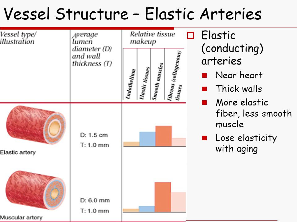  Elastic (conducting) arteries Near heart Thick walls More elastic fiber, less smooth muscle Lose elasticity with aging Vessel Structure – Elastic Arteries