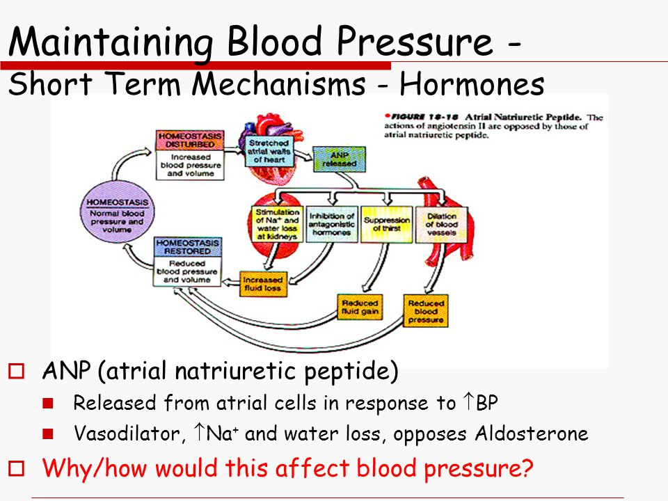  ANP (atrial natriuretic peptide) Released from atrial cells in response to  BP Vasodilator,  Na + and water loss, opposes Aldosterone  Why/how would this affect blood pressure?