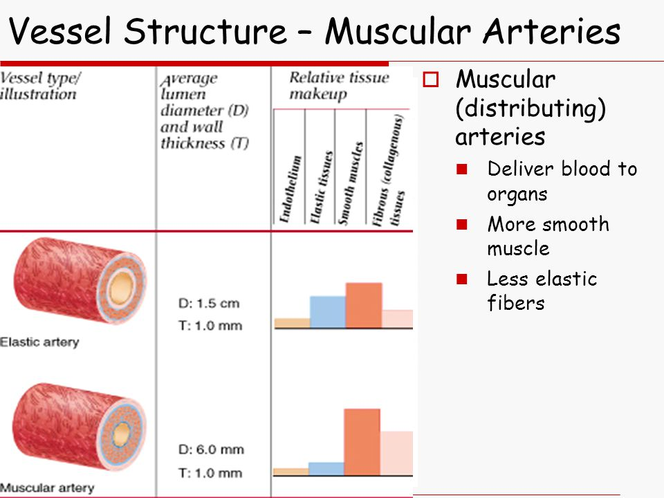  Muscular (distributing) arteries Deliver blood to organs More smooth muscle Less elastic fibers Vessel Structure – Muscular Arteries