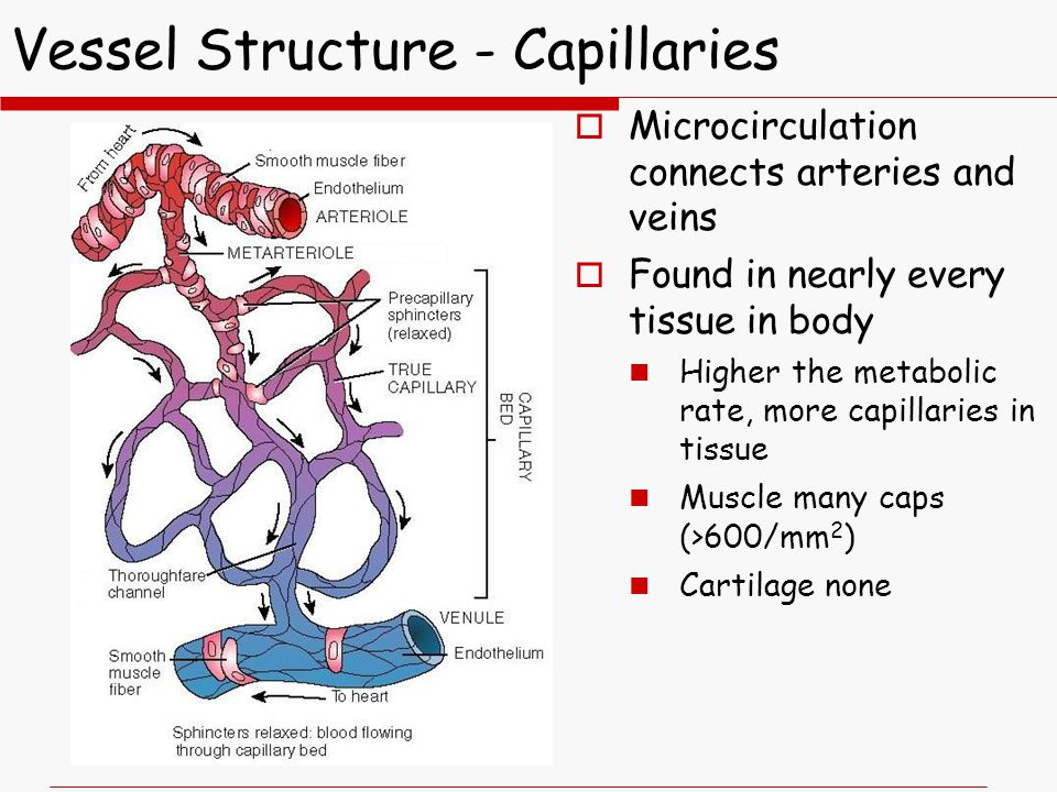 Vessel Structure - Capillaries  Microcirculation connects arteries and veins  Found in nearly every tissue in body Higher the metabolic rate, more capillaries in tissue Muscle many caps (>600/mm 2 ) Cartilage none