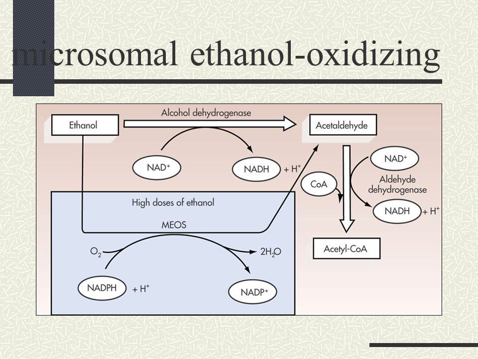 Metabolizing large amounts of alcohol Overwhelm ADH, cannot keep up Uses microsomal ethanol-oxidizing system (MEOS) a back-up system in liver MEOS used by liver to metabolize drugs Increase alcohol metabolism and tolerance Pathway reduces body's ability to detoxify drugs Increase potential for drug overdose Liver damage will hamper other metabolic pathways Removing alcohol from circulation Liver metabolism limited Blood alcohol level falls slowly