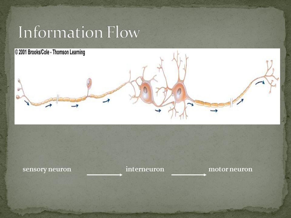 interneuronmotor neuron sensory neuron