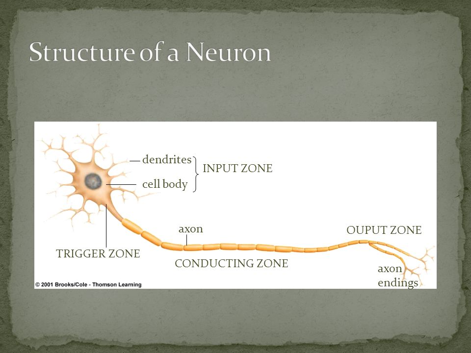 dendrites cell body TRIGGER ZONE INPUT ZONE CONDUCTING ZONE OUPUT ZONE axon axon endings