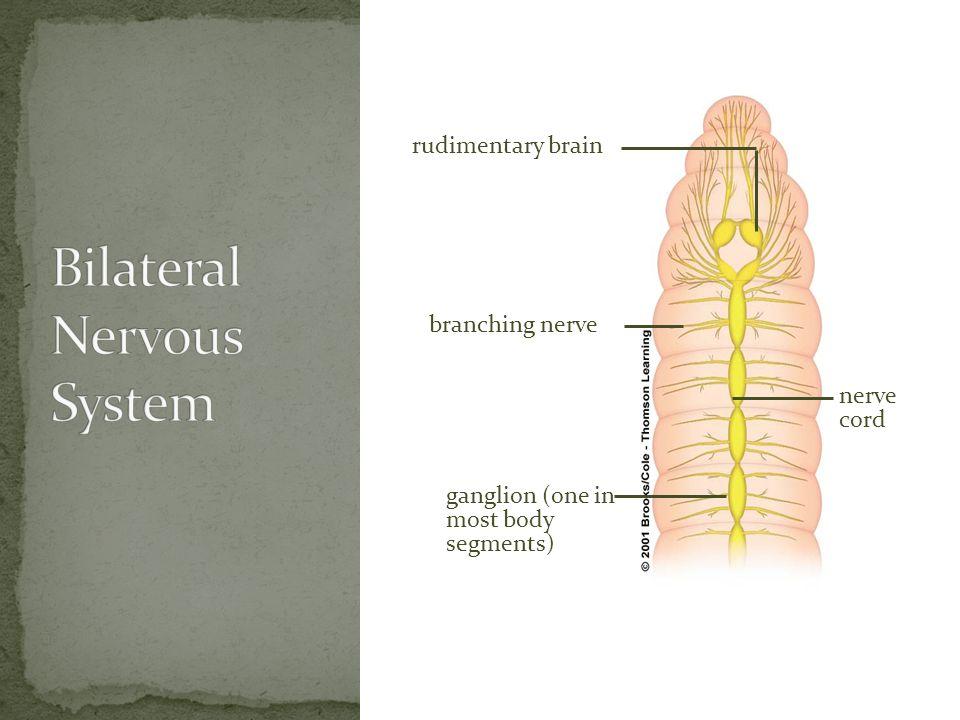 ganglion (one in most body segments) nerve cord branching nerve rudimentary brain