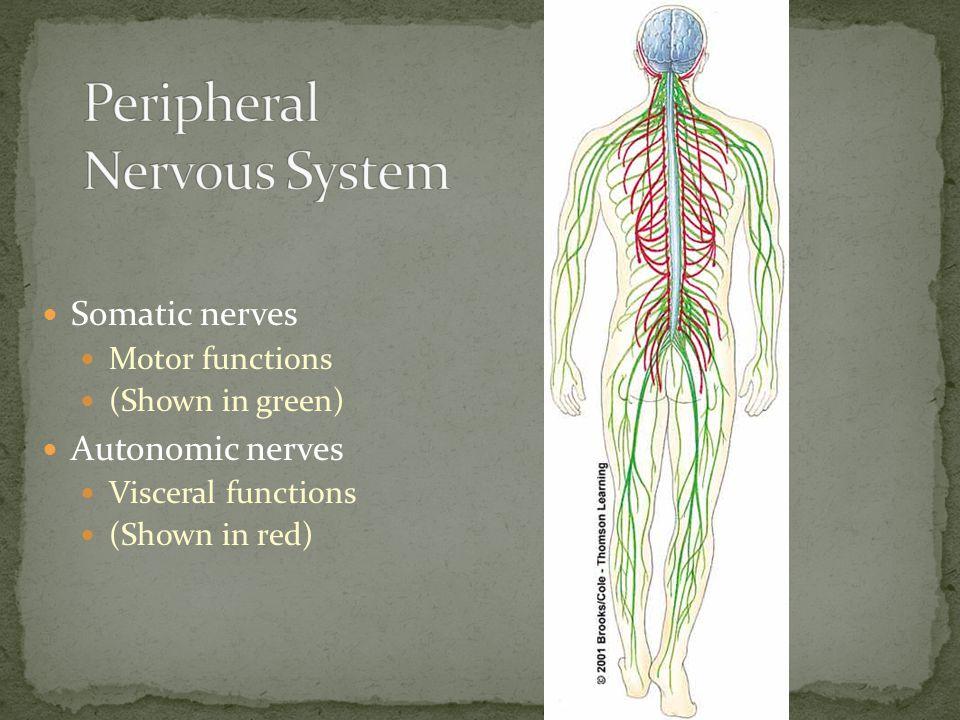Somatic nerves Motor functions (Shown in green) Autonomic nerves Visceral functions (Shown in red)