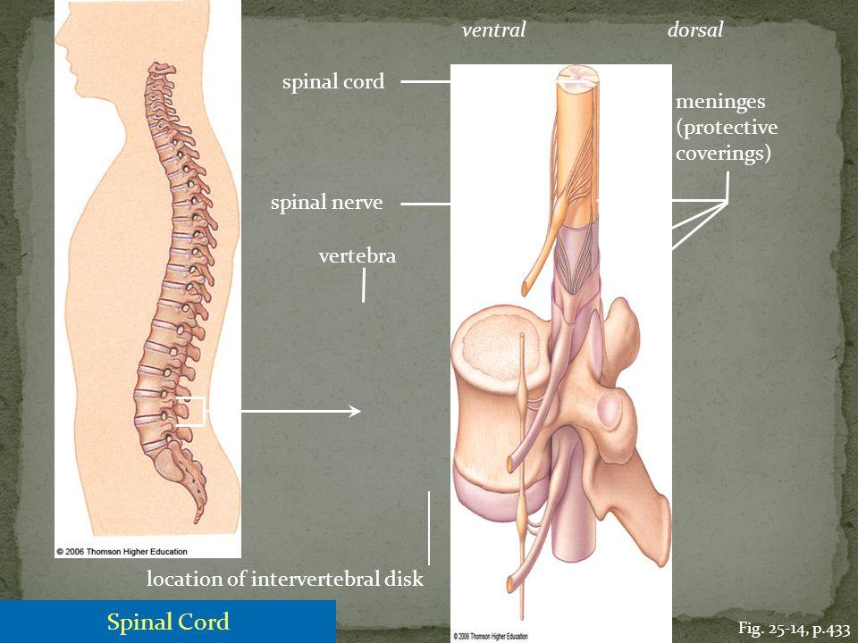 spinal cord spinal nerve vertebra meninges (protective coverings) Fig. 25-14, p.433 ventraldorsal location of intervertebral disk Spinal Cord