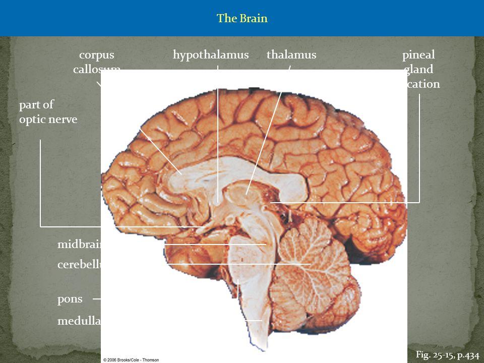 midbrain thalamushypothalamus pons cerebellum medulla oblongata corpus callosum part of optic nerve pineal gland location Fig. 25-15, p.434 The Brain