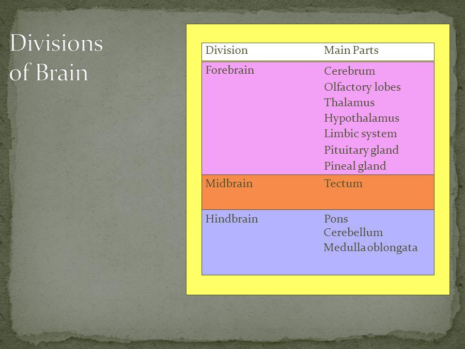 DivisionMain Parts Forebrain Midbrain Hindbrain Cerebrum Olfactory lobes Thalamus Hypothalamus Limbic system Pituitary gland Pineal gland Tectum Pons