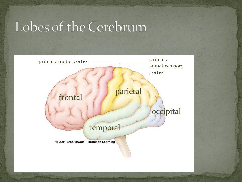 temporal frontal parietal occipital primary motor cortex primary somatosensory cortex
