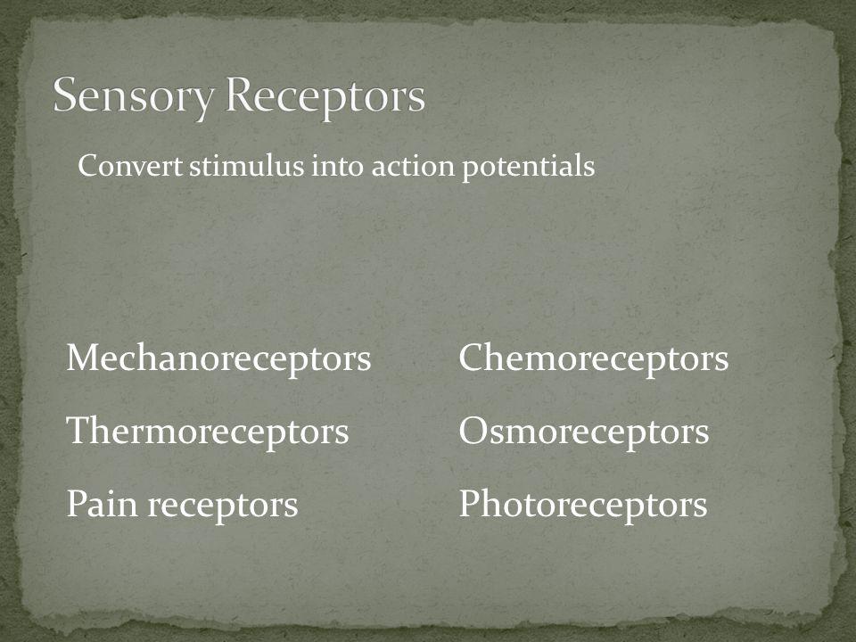 Convert stimulus into action potentials Mechanoreceptors Thermoreceptors Pain receptors Chemoreceptors Osmoreceptors Photoreceptors